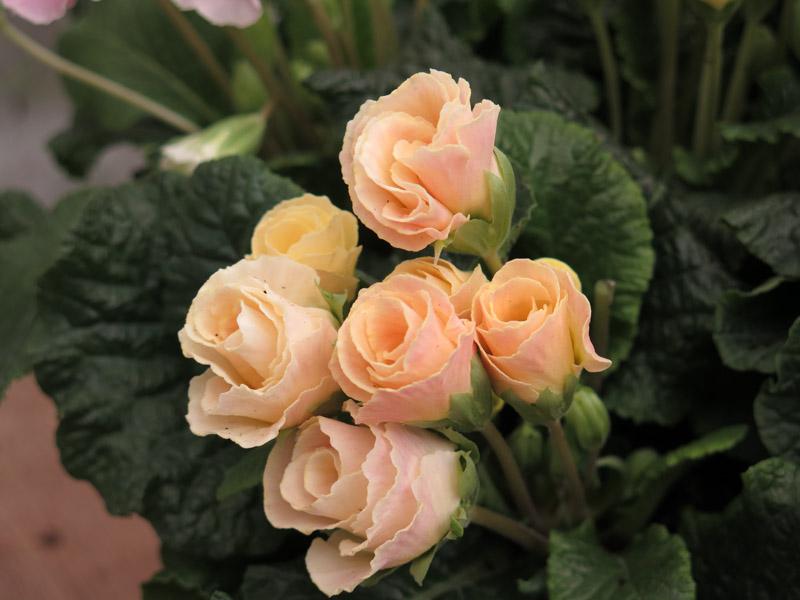 Primula Bellerose-7