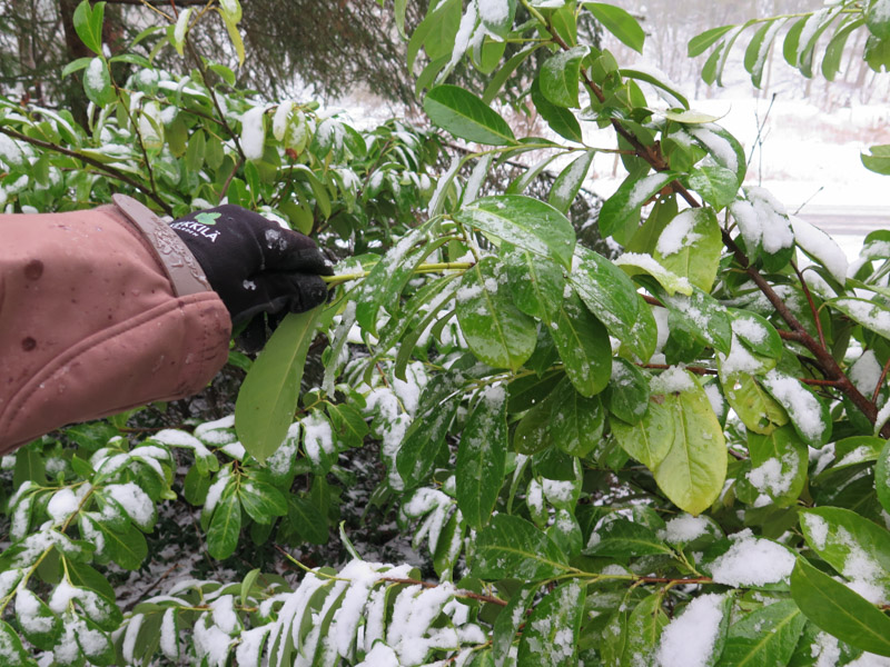 Prunus laurocerasus-28