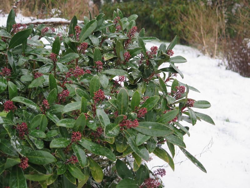 Skimmia japonica-27