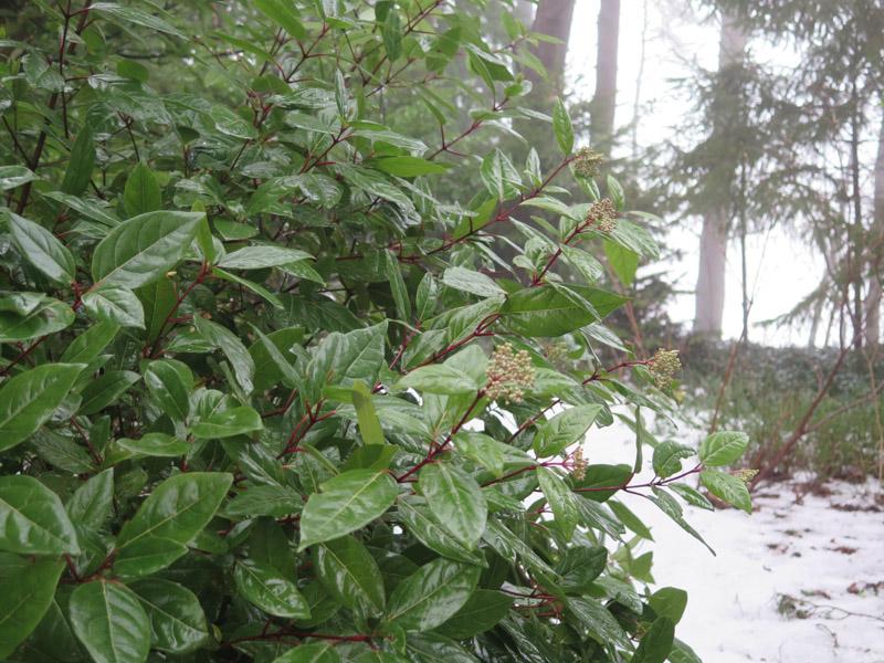 Viburnum tinus-45