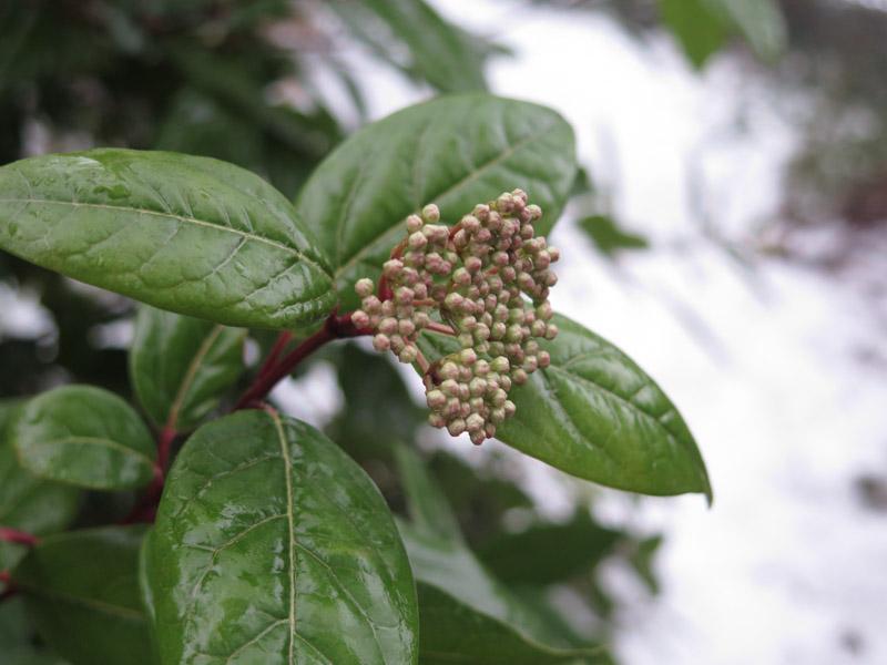 Viburnum tinus-46