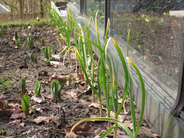 Allium sativum-23