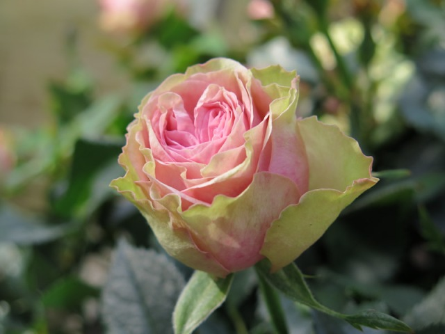 Rosa Infinity Evergreen-1