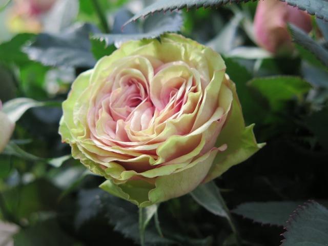 Rosa Infinity Evergreen-2