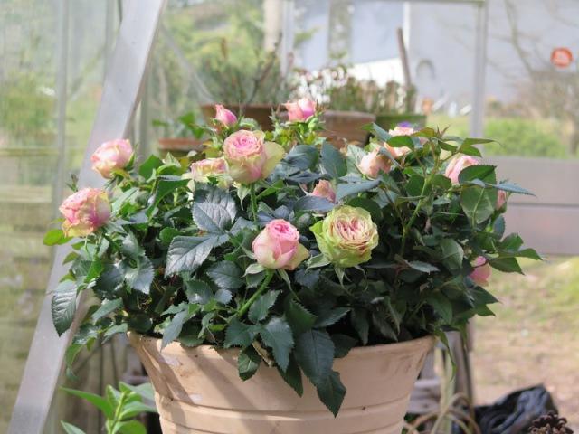 Rosa Infinity Evergreen-4