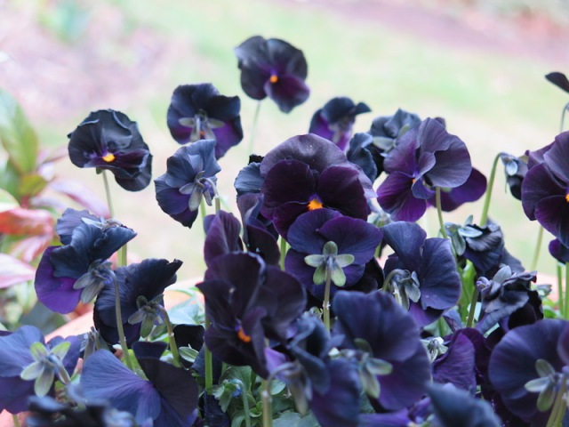 Viola cornuta-39