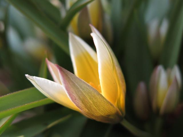 Tulipa tarda-21-1